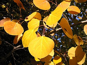 Quaking Aspen, fall foliage