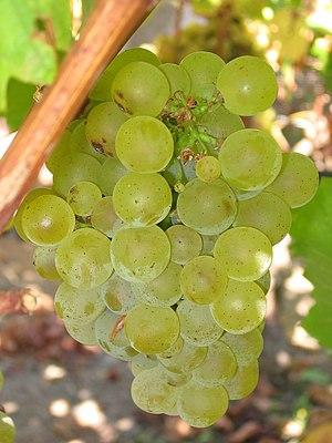 Ripe Sauvignon blanc grapes.