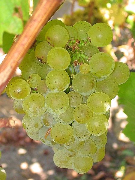 File:Sauvignon blanc grapes.jpg