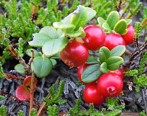 Cowberry or Lingonberry at Blefjell in Norway