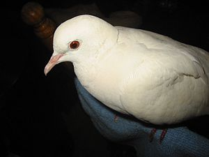 White Dove Bird