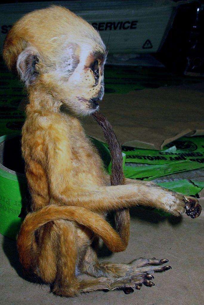 File Cbp Catches Elephant Meat Dead Primate Exotic