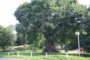 English: Fingringhoe Oak (11978) This is the f...
