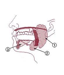Glándulas salivares.jpg