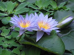 Nymphaea cultivar. 'Pamela'. Royal Botanic Gar...
