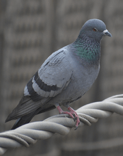 Pigeon on high tension cable.png