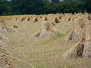 English: Wheat sheaves near King's Somborne Th...