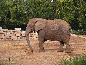 African Elephant, Safari Ramat Gan, Israel