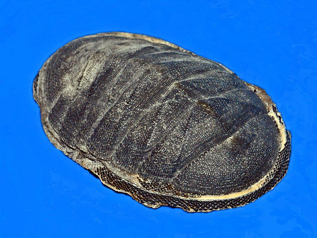 Chiton Magnificus Wikipedia