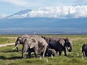 African Elephants in Amboseli National Park.