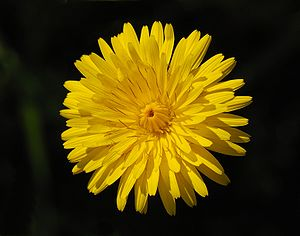 Flower head of a Commons Hawkweed (Hieracium l...