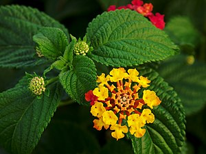Flower and leaves of Lantana camara Français :...