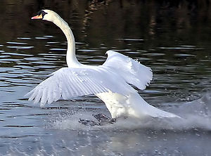 Mute Swan at the moment of landing