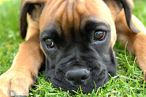 A female Boxer puppy.