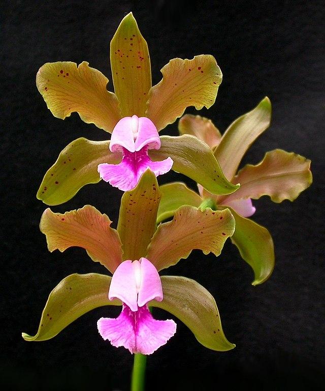 Cattleya tenuis 53.jpg