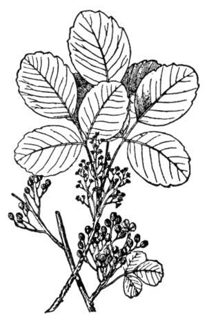 NSRW Poison-Oak