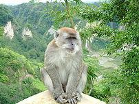 Macaca fascicularis at Ngarai Sianok, Bukittin...