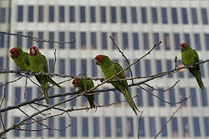 Feral Parrots in San Francisco