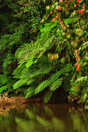 Rainforest pool ferns. Australia.
