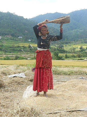 English: Rice winnowing, Uttarakhand, India. F...