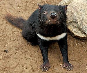 Tasmanian devil.