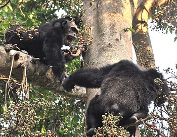 English: Alpha male chimp and older jump on fi...