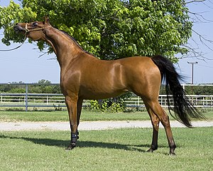 Arabian mare standing in a show halter pose