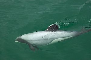 Hector's dolphins have a unique rounded dorsal...