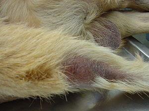 Alopecia on the tail typical of canine hypothy...