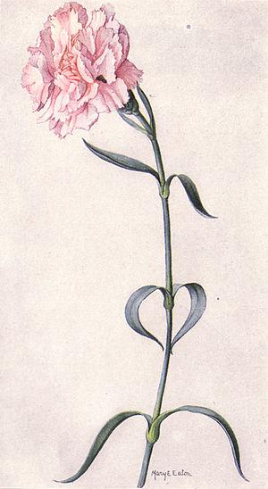 Pink Carnation (NGM XXXI p510)