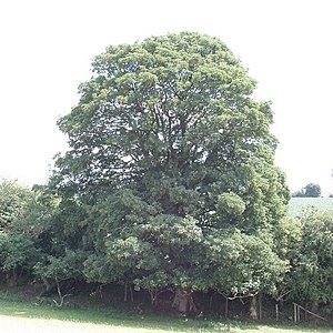 English: Sycamore tree in hedgerow, near Great...