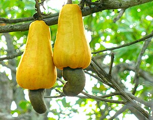 Twin Cashew nut ready for harvest from kottara...