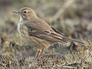 Buff-bellied Pipits will wag their tail from s...