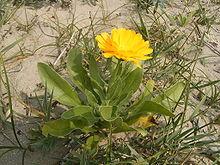 Calendula officinalis 03-09-2005 15.21.56.JPG