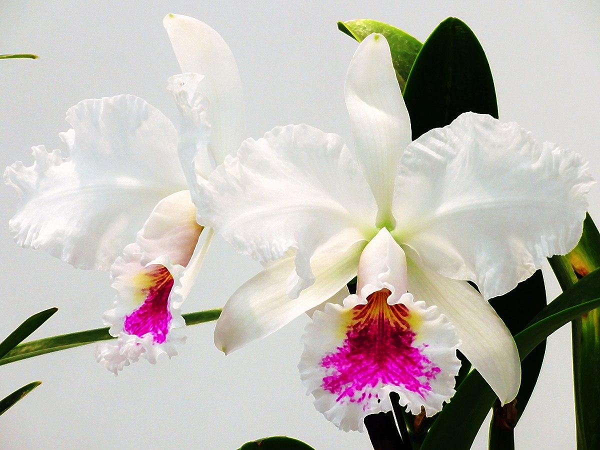 Cattleya Jenmanii Wikispecies