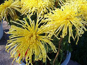 Mums flowers
