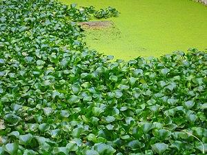 Jacintos de agua y otras plantas se han hecho ...