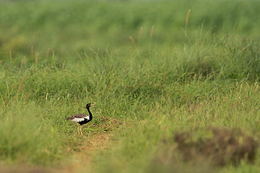 Male Lesser Florican