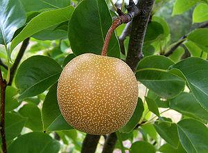 A Korean Pear, Korean natural monument #74.