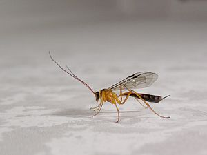 English: Orange Ichneumonid wasp, possibly Net...