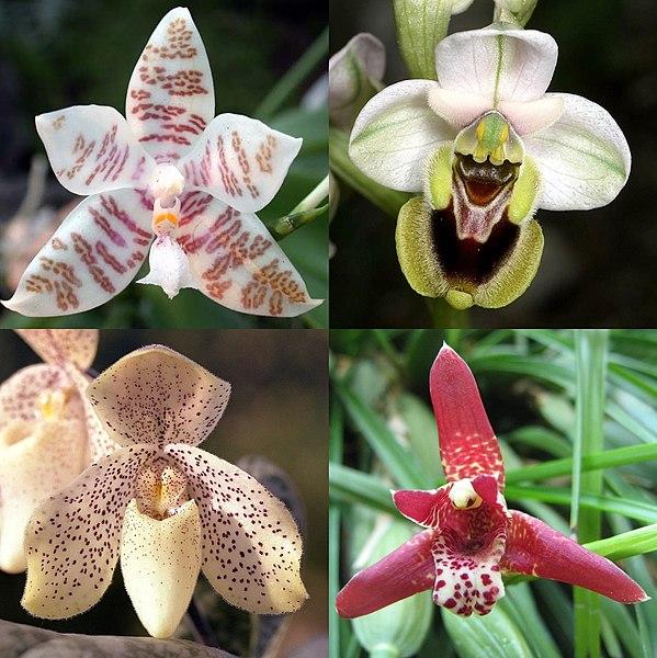 Tập tin:PhalaenopsisOphrysPaphiopedilumMaxillaria.jpg