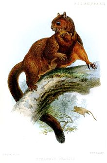 Red Giant Flying Squirrel Wikipedia