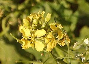 A blossom of the white mustard.