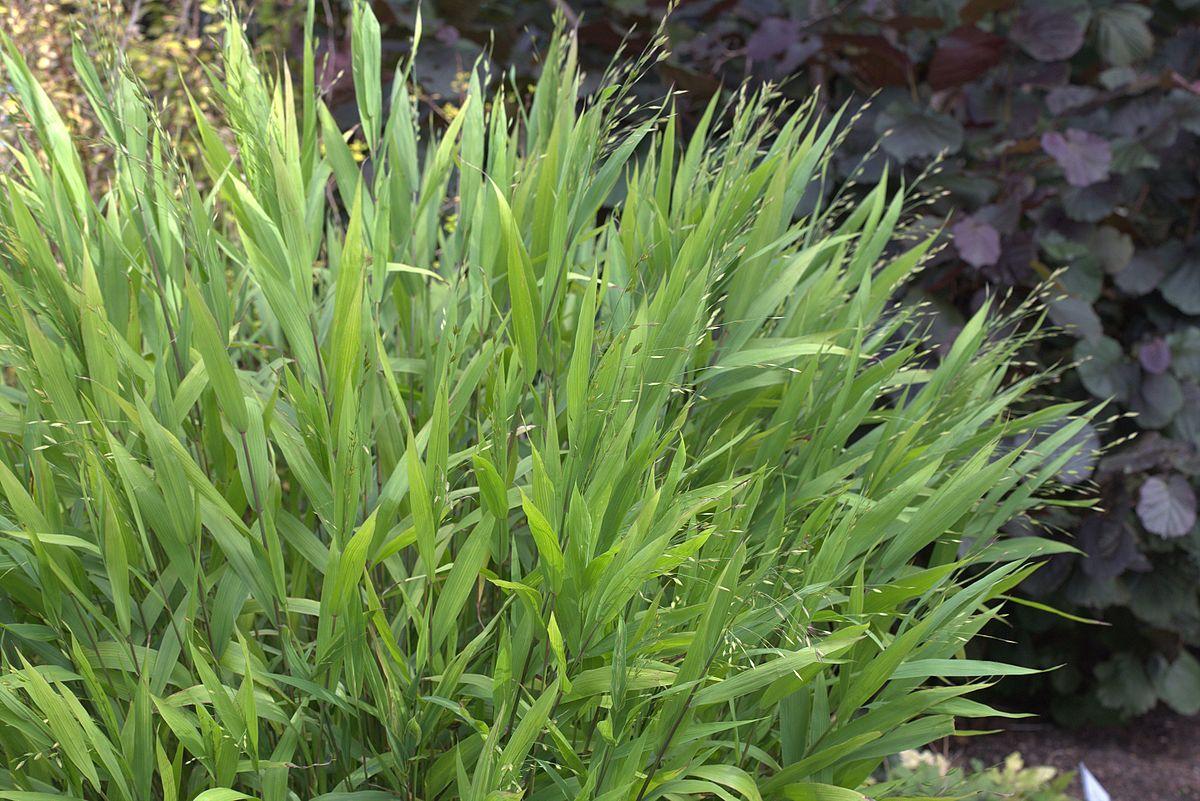 Chasmanthium Latifolium Wikipedia