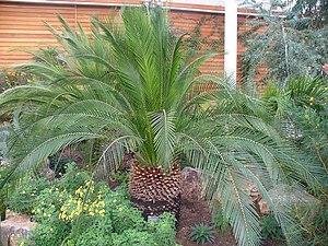 English: Cycad Specimen tree within RHS Wisley...