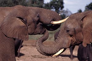 Two elephants, with one putting its trunk in t...