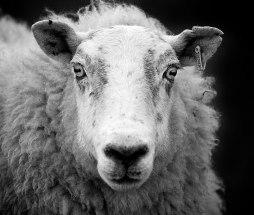Ewe Sheep by George Gastin