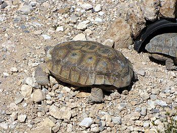 English: Desert tortoise (Gopherus agassizii) ...