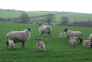 English: New Lambs