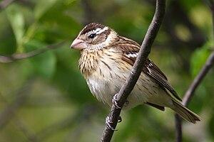 Rose-breasted Grosbeak, female, Cap Tourmente ...